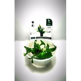 Planta Acuatica Helecho De Java Microsorium Pteropus