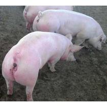Cerdos De Engorda Entre 90 Y 100 Kgs.