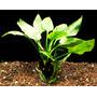 Cryptocoryne Pontederiifolia - Plantas De Acuario 10 A 12 Cm