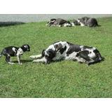 Dogo Aleman O Gran Danes Vendo Cachorros Raza Gigante Puros
