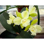 Muda Orquídea Cattleya Siam Jade Avo