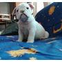 Cachorro Bulldog Ingles Para Entrega Inmediata