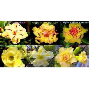 Rosa Do Deserto Kit Amarelas ( 18 Sementes - 6 Tons) Adenium
