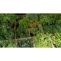 Epazote ( Planta ) Paq. De 12 Aromáticas Y Verduras
