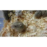 Pequeños Hamster Rusos Disponibles