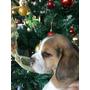 Beagle Enanos Inscritos