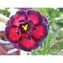 Semillas De Rosa Del Desierto - Combinada Azul - Fucsia