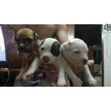 Filhotes Pitbull (1 Macho E 2 Fêmeas Restantes)