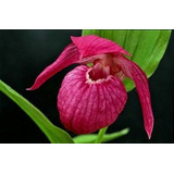 50 Sementes Orquídea Sapatinho Rosa P/mudas Bonsai Gramas