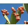 Mudas De Figo Da Índia Especial Para Cultivo Em Vaso