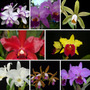 Kit De 27 Mudas Orquídeas Cattleya Borboleta Phalaenopsis