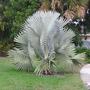 20 Sementes Palmeira Azul Bismarckia Nobilis P/mudas Bons