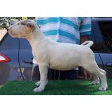 Bull Terrier Hembra Inscrita 7 Meses