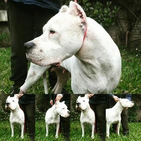 Dogo Argentino F.c.a Criadero La Shanna