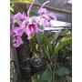 Orquidea Cattleya Maxima