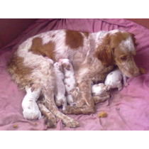Vendo Excelentes Cachorros Breton Español