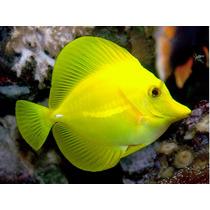 Peixe Marinho Yellow Tang - Juvenil ( Pequeno) Promoção!