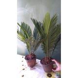 Cica Revoluta - Mudas 60cm Folhas (cyca)