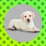 Cachorritosco Labradores Dorados Para Ti !