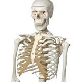 Modelo Anatómico De Estudio Esqueleto Humano 1.7mt