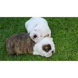 Cachorros Bulldog Inglés Inscritos