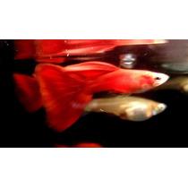 Guppy Full Red High Dorsal (criado)