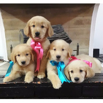 Reserva Cachorros Golden Retriever Hembras Y Machos Puros.