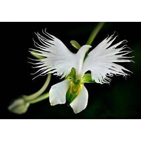 Orquídeas - 10 Sementes Selecionadas - Orquídea Garça Branca