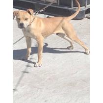 Cachorro 1 Año American Pitbull Terrier Game Apbt Autentico