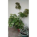 Planta Interior Preciosa Chiflera 1,5 Mt