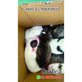 Filhote De Bull Terrier Sem Pedigree Macho Branco