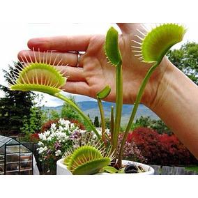 Semillas Venus Atrapamoscas Gigante Dionaea Muscipula Planta
