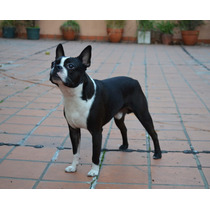 Boston Terrier - Servicio De Monta