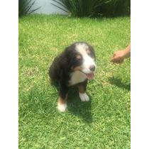 Cachorro Bernes De La Montaña En Guadalajara