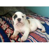 Bulldog Ingles Macho El Mejor Regalo Para Esta Navidad