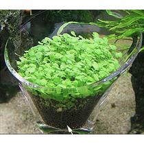 Semillas Planta Acuario Glossostigma Hoja Grandes Tapizante