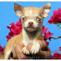 Chihuahuas Machos Supe Minis Fca