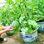 Melancia Anã Para Vasos Sementes Frutas Para Mudas