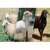 Proyecto De Cria De Cabras Y Ovejas, Razas Instalaciones