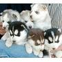 Cachorros Lobos Husky Siberianos