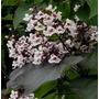 Plantín Catalpa Purpurea 40cm En Envase De 4l Arbol Exotico