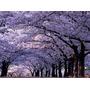 Árvore Imperatriz Paulownia 30 Sementes Para Mudas E Bonsai