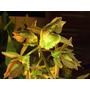 Orquidea Catasetum Fimbriatum