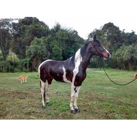 Cavalo Marchador, Pampa, Registrado, Manso