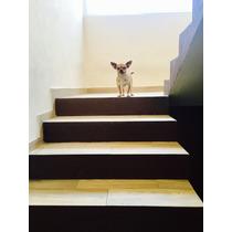 Chihuahua Cabeza De Manzana Original