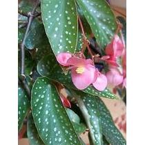 Begonia Maculata Puntos 100 Semillas Fácil Sombra/sol Sdqro