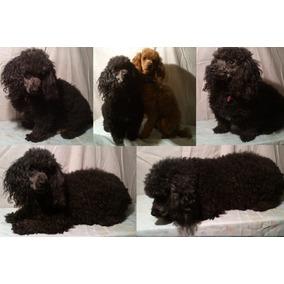 Lindos Cachorritos French Poodle Rojo Minitoy