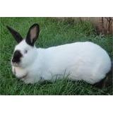 Inseminacion Reproduccion En Conejos