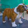 Cachorros Bulldog Inglés - Showdog - Gran Pedigree
