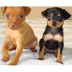 Venda de cachorros mini pinscher